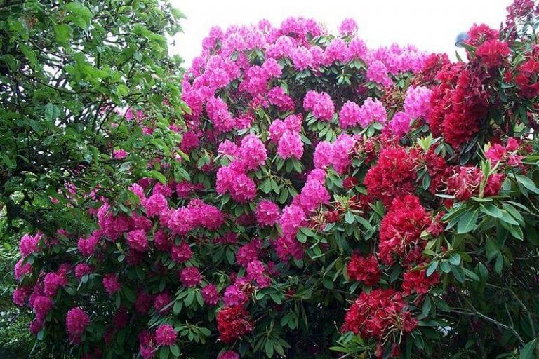 Azalea (Rhododendrons)