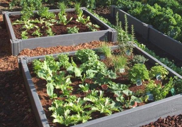 Lettuce grown in plastic raised bed